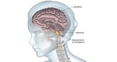 Das Atemzentrum ist eine Nervenzellregion im  Hirnstamm