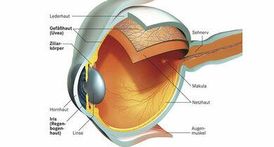 """Anatomie des Auges mit Netzhaut (schematisch): Im """"beleuchteten"""" Bereich sind Netzhautgefäße erkennbar (heller: Arterien, dunkler: Venen)"""