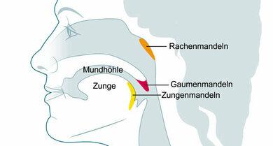 Mundhöhle, Rachen, Mandeln (Schemazeichnung)