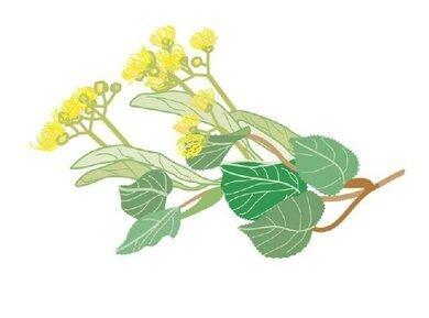 Lindenblüten: Sind in vielen Erkältungstees enthalten