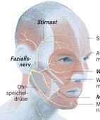 Die Gesichtsäste des Fazialisnerven verzweigen sich in der Ohrspeicheldrüse