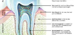 Zahn (Schematische Darstellung)