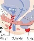 Die Gebärmutter überwölbt die Blase und kann sie in der Schwangerschaft beengen