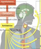Multitalent Schilddrüse: Ihre Hormone beeinflussen viele Körperfunktionen (ein Klick auf die Lupe zeigt die ganze Grafik)