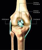 Wichtige Bänder des Knies (Blick von vorne auf das rechte Kniegelenk. Für die Vergrößerung bitte auf die Lupe oben links klicken!)