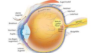 Anatomie des Augen-Querschnitts