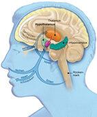 Im Zwischenhirn regeln der Hypothalamus (im Bild hellgrün) und nahe Kerngebiete (violett) vegetative Reaktionen und Gefühle wie Appetit. Auch das Großhirn ist beteiligt