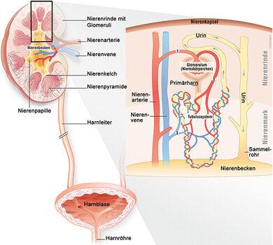 Grafik 1: Wie die Niere aufgebaut ist und wie der Urin über den Harnleiter in Blase und Harnröhre gelangt