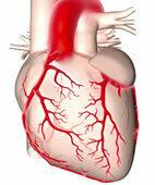 Das Herz: zentrales Kreislauforgan