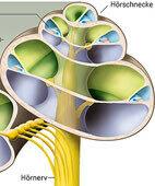 Ein Querschnitt durch das Kanalsystem im Inneren der Hörschnecke. Bei Morbus Menière füllt sich der Ductus cochlearis (im Bild hellblau dargestellt) mit zu viel Flüssigkeit