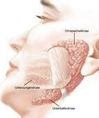 Die großen Kopfspeicheldrüsen: Ohrspeicheldrüse, Unterkieferspeicheldrüse, Unterzungenspeicheldrüse (ein Klick auf die Lupe zeigt das ganze Bild)