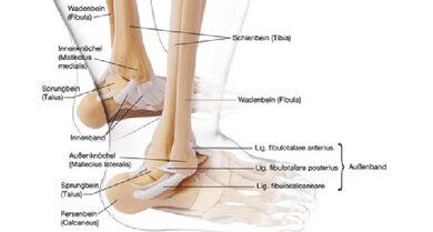Übersicht über die Bänder und Knochen des oberen Sprunggelenks