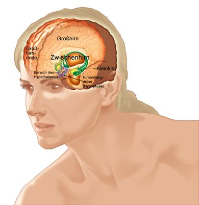 Hirnanhangdrüse: klein und wirkungsvoll (zur Vergrößerung bitte auf die Lupe klicken)