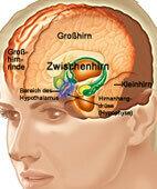 Gehirn mit Hirnanhangdrüse und Hypothalamus (zum Vergrößern bitte auf die Lupe klicken)
