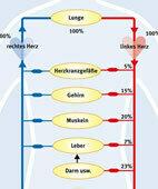 Blutkreislauf: Das Herz besteht aus zwei Hälften. Sie arbeiten eng aufeinander abgestimmt und sind hier schematisch dem Venensystem (blau) und Arteriensystem (rot) zugeordnet