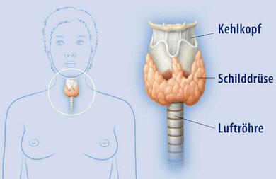 Position der Schulddrüse im Körper, die unter anderem Cacitonin herstellt