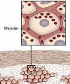 Die Hautschichten mit den Pigmentzellen (Melanozyten) in der Oberhaut. UV-Strahlen regen die Melaninbildung an. Ein Klick auf die Lupe zeigt die ganze Grafik