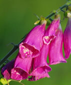 Der rote Fingerhut (Digitalis purpurea) enthält kein Digoxin, sondern Digitoxin