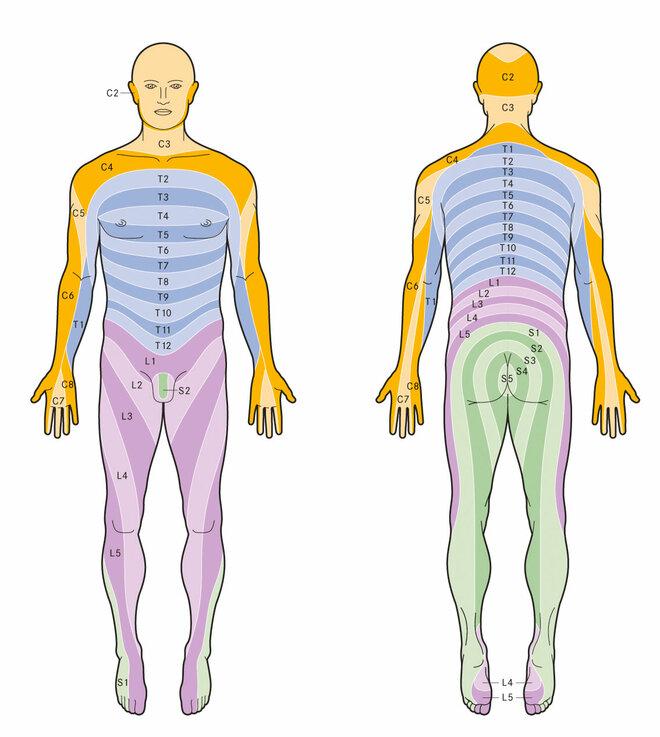 Dermatome (Schematische Darstellung)