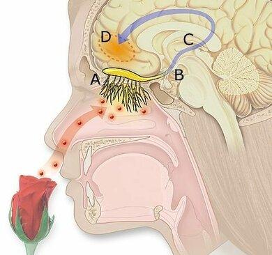 So riecht der Mensch: Der Duft steigt in die Nase und gelangt zur Riechschleimhaut, wo der Olfaktorius-Nerv den Reiz weiterleitet zum Gehirn