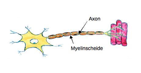 Elektroneurografie: So funktioniert ein Nerv (Grafik 2)
