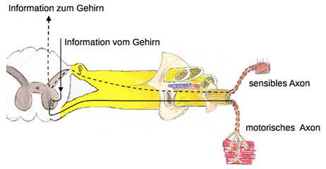Elektroneurografie: So funktioniert ein Nerv (Grafik 1)
