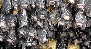 Fledermäuse gelten als Überträger des Marburg-Virus