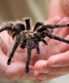 Auch eine Spinnenphobie kann mit einer Verhaltenstherapie behandelt werden
