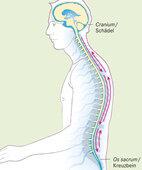 Gehirn und Rückenmark sind in eine Flüssigkeit eingebettet, den Liquor (blau). Dieser soll zwischen Schädel und Kreuzbein einen fühlbaren Pulsschlag erzeugen, an dem Therapeuten Blockaden erkennen