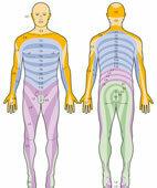 Zu den Spinalnerven gehörende Hautzonen
