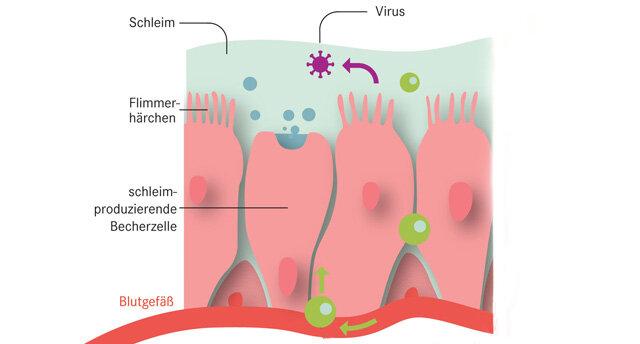 Infografik Nasenschleimhaut