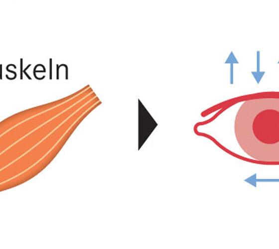 Muskeln Auge offen Sehen