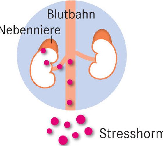 Nieren Nebenniere Stresshormone