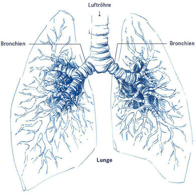 Die Bronchien verbinden die Luftröhre mit der Lunge. Über die Bronchien gelangt die Atemluft in die Lunge.