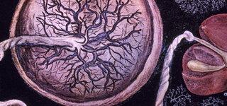 Menschliche Plazenta Maler Hieronymus Faricius 1537-1619