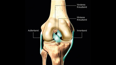 Das Bild zeigt die Bänder im Knie.
