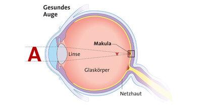 Das Bild zeigt: Die Makula ist eine Region der Netzhaut. Mit Hilfe der Makula können wir scharf sehen.