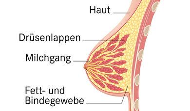 Das Bild zeigt den Aufbau der Brust.