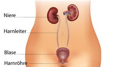 Das Bild zeigt die Nieren und die ableitenden Harnwege.