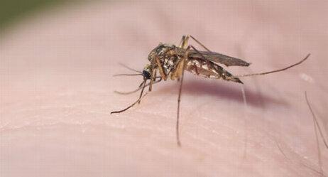 Moskitos können Malaria übertragen